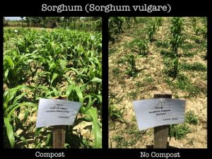 The same crop grows taller with compost than without compost