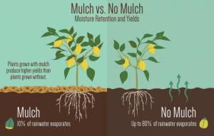 Diagram comparing mulched and unmulched soils.