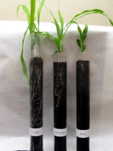 Small plants in test tubes for an experiment